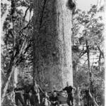 Das Fällen eines Kauri