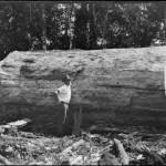 Kaurifäller Anfang 20. Jahrhundert