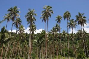 Devils Point - klassische Kokosplantage