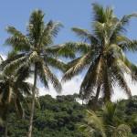 Vanuatu: Kokosplamen bei Devils Point