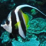 Sailaway - Hat Island - Wimpelfisch