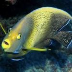 Sailaway - Tranquility - Kaiserfisch