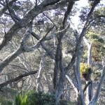 Pohutukawa Wald an der Orokawa Bay