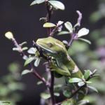 Jewelled Green Gecko