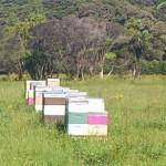 Bienenstöcke vor Manuka Buschland
