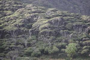 Typisches Manuka Buschland Waitakere Ranges