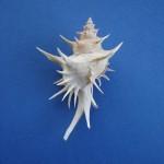 Spiny murex, Poirieria zelandica (Quoy & Gaimard, 1833)