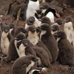 Snares Crested Penguin: eine Kolonie von Jungvögeln (c) Brent Beaven