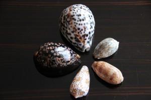 Autorenmuscheln aus Tahiti, Vanuatu, Tonga, Seychellen