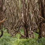 Rata Wald auf Auckland Island (c) Brent Beaven