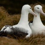 Ein Paar Southern Royal Albatross Campbell Island (c) Gunther Riehle