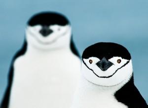 Zügelpinguine Antarktika (c) Gunther Riehle