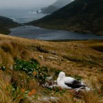 Southern Royal Albatross Campbell Island (c) Gunther Riehle