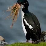 Kormoran beim Nestbau Auckland Island (c) Gunther Riehle