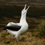 Southern Royal Albatross gibt laut (c) Gunther Riehle