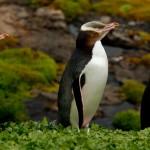 Yellow Eyed Pinguine - einer niest - auf Auckland Island (c) Gunther Riehle