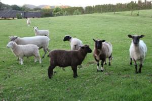Glückliche Schafe bei Whangarei