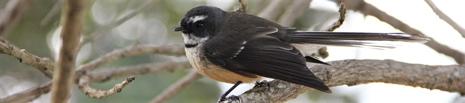 Fantail bird, Wenderholm, New Zealand