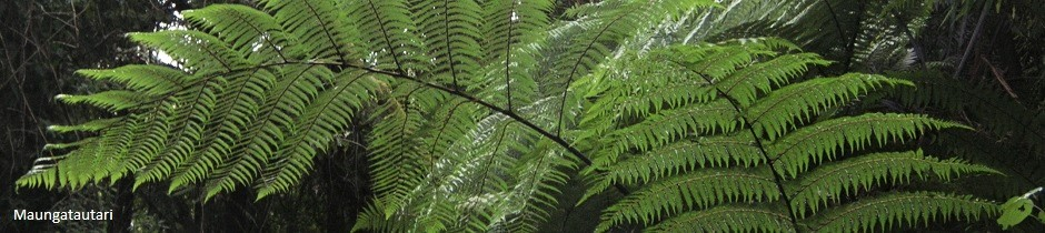 Maungatautari ferns, New Zealand