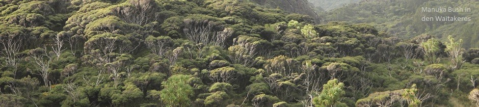 Manuka bush, Waitekere, New Zealand