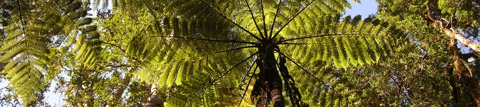 Tree ferns, New Zealand