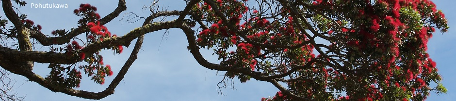 Pohutukawa flowers, New Zealand