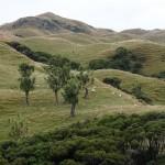 Der Weg nach Wharariki führt durch typisch neuseeländisches Weideland