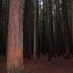 Nicht in Kalifornien Redwoods