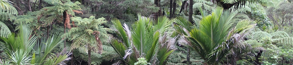 Nikau palms, New Zealand