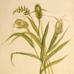 Tutukiwi - Pterostylis banksii